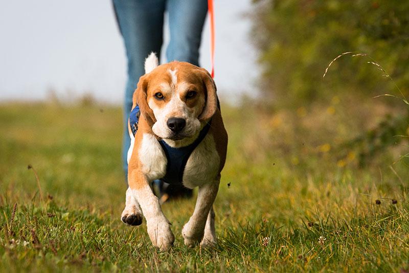 Beagle beim Hundesport: Maintrailing